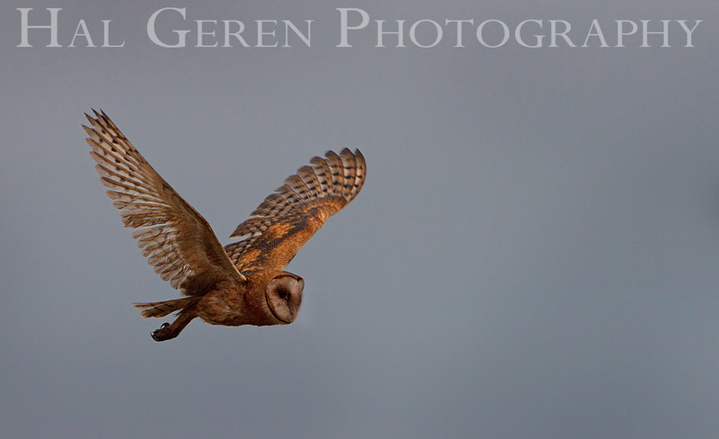 Barn Owl<br /> Don Edwards Nat'l Wildlife Refuge<br /> Fremont, California<br /> 1108R-BO17