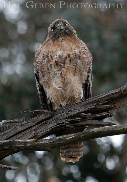 Red Tailed Hawk<br /> Don Edwards Nat'l Wildlife Refuge<br /> Fremont, California<br /> 1107R-RTH11