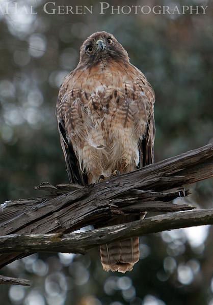 Red Tailed Hawk<br /> Don Edwards Nat'l Wildlife Refuge<br /> Fremont, California<br /> 1107R-RTH11