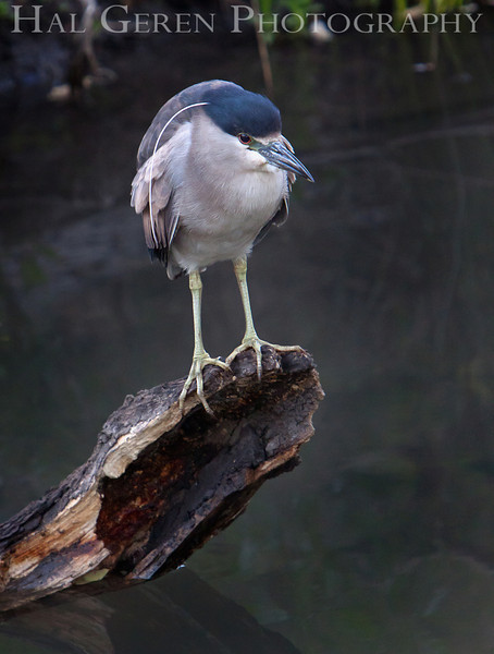 Black Crowned Night Heron<br /> Fremont, California<br /> 1105LL-BCNH1
