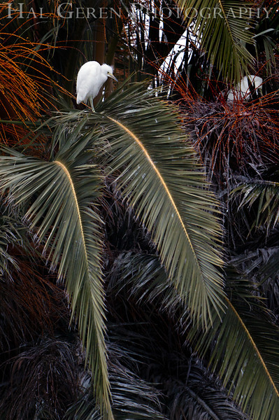 Snowy Egret Juvenile<br /> Fremont, California<br /> 1106R-SNJ1
