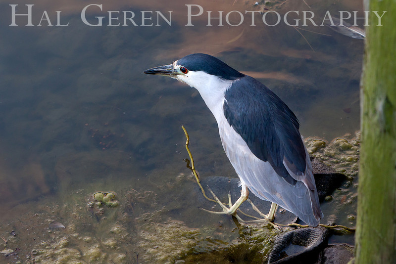 Black Crowned Night Heron<br /> Fremont, California<br /> 1106R-BCNH6ASO-1