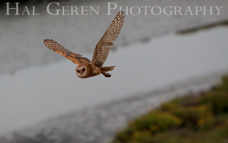 Barn Owl<br /> Don Edwards Nat'l Wildlife Refuge<br /> Fremont, California<br /> 1108R-BO7