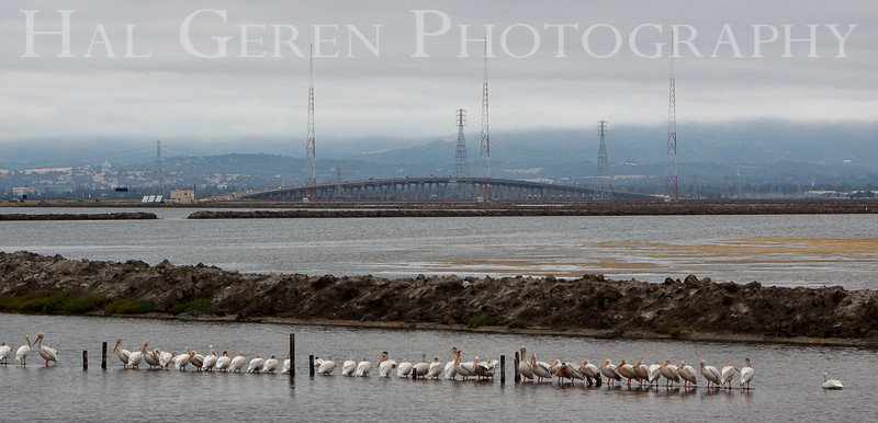 Pelicans and the Dumbarton Bridge<br /> Don Edwards Nat'l Wildlife Refuge<br /> Fremont, California<br /> 1107R-PATDB1