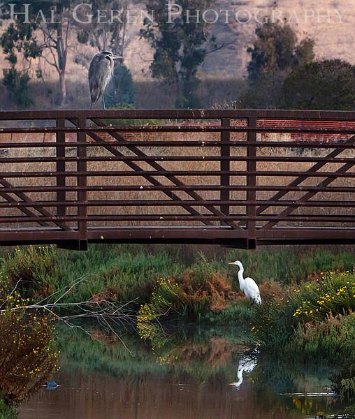 Blue Heron on bridge; Great Egret below<br /> Don Edwards Nat'l Wildlife Refuge<br /> Fremont, California<br /> 1109R-BHOB3