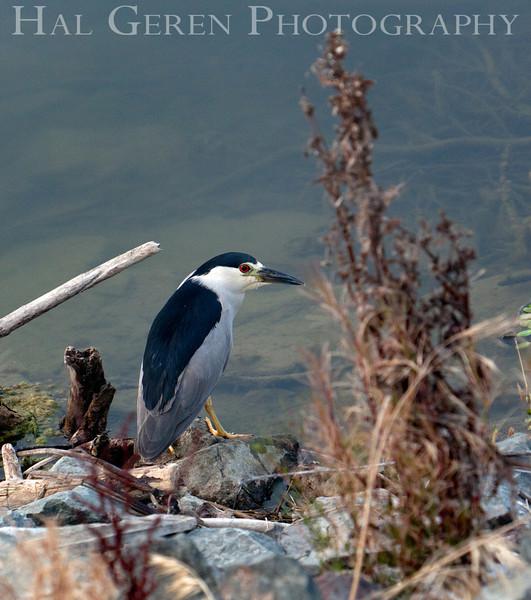Black Crowned Night Heron<br /> Don Edwards Nat'l Wildlife Refuge<br /> Fremont, California<br /> 1108R-BCNH2