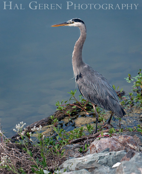 Blue Heron<br /> Don Edwards Nat'l Wildlife Refuge<br /> Fremont, California<br /> 1108R-BH4