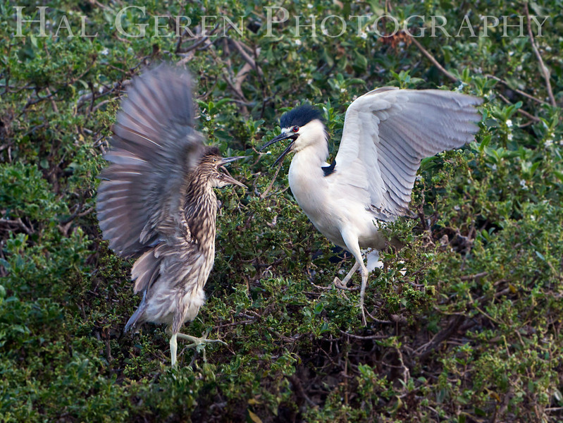 Black Crowned Night Heron Adult with Juvenile<br /> Fremont, California<br /> 1106R-BCNHAAJ1