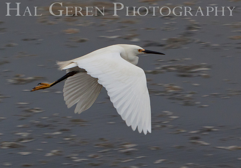 Snowy Egret<br /> Don Edwards Nat'l Wildlife Refuge<br /> Fremont, California<br /> 1107R-SEF1