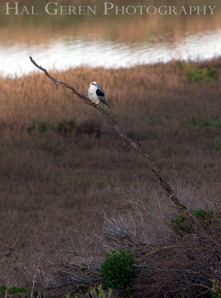 White Tailed Kite<br /> Fremont, California<br /> 1104R-K1