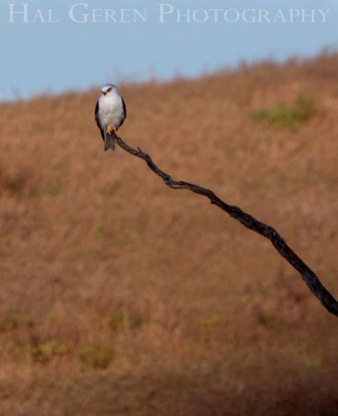 White Tailed Kite<br /> Fremont, California<br /> 1104R-K4