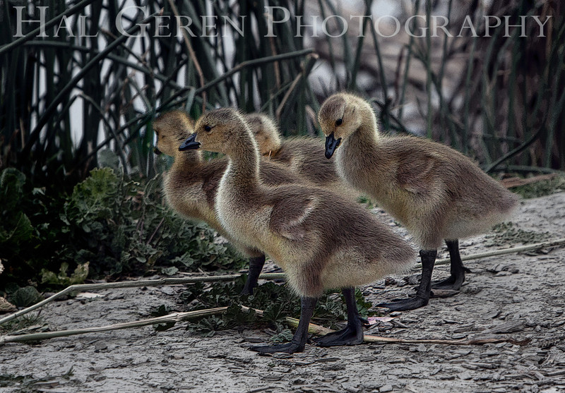 Canadian Goslings<br /> Fremont, California<br /> 1105LL-G1E1