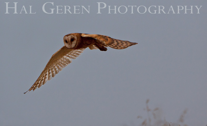 Barn Owl<br /> Don Edwards Nat'l Wildlife Refuge<br /> Fremont, California<br /> 1108R-BO6