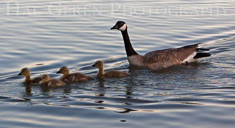 Canadian Goose with Goslings<br /> Fremont, California<br /> 1105LL-CGAG1