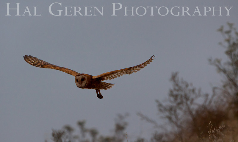Barn Owl<br /> Don Edwards Nat'l Wildlife Refuge<br /> Fremont, California<br /> 1108R-BO5