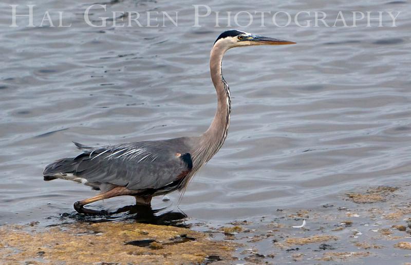 Blue Heron<br /> Don Edwards Nat'l Wildlife Refuge<br /> Fremont, California<br /> 1107R-BH6