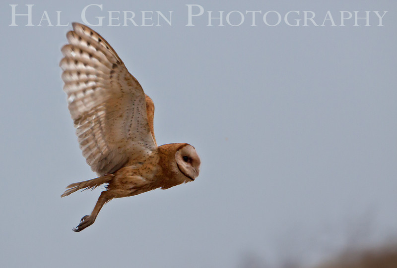 Barn Owl Flight<br /> Fremont, California<br /> 1108R-BO21