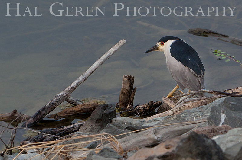 Black Crowned Night Heron<br /> Don Edwards Nat'l Wildlife Refuge<br /> Fremont, California<br /> 1108R-BCNH1