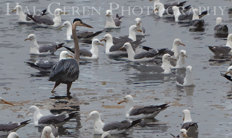 Blue Heron and Gulls<br /> Don Edwards Nat'l Wildlife Refuge<br /> Fremont, California<br /> 1107R-BHAG1E1