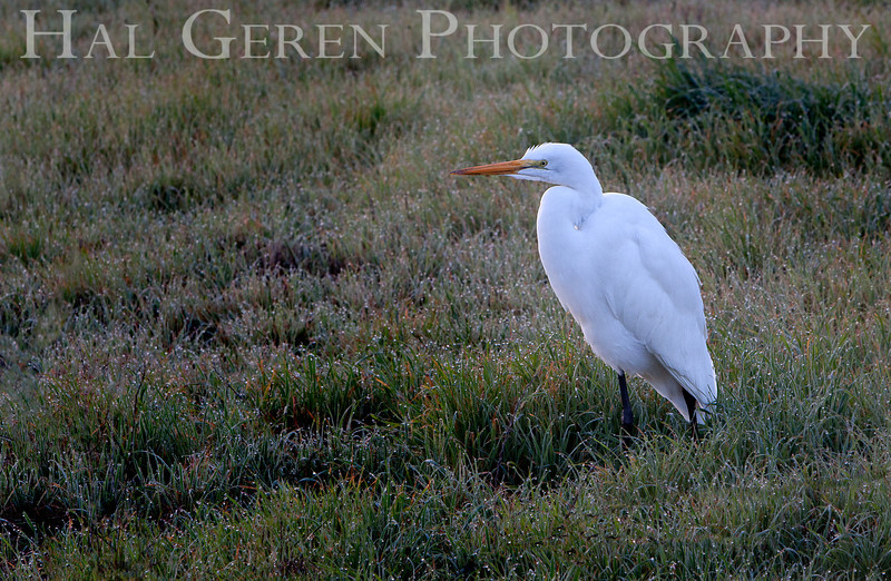 Great Egret<br /> Fremont, California<br /> 1101R-GE1