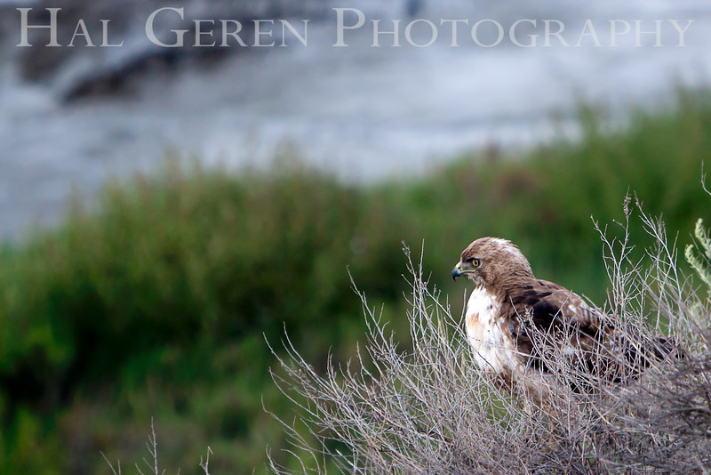 Red Tailed Hawk<br /> Don Edwards Nat'l Wildlife Refuge<br /> Fremont, California<br /> 1106R-RTH3
