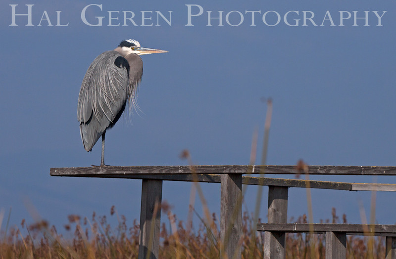Great Blue Heron<br /> Alviso, California<br /> 1112B-GBH5