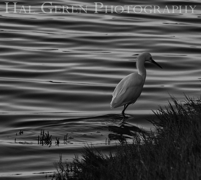 Snowy Egret<br /> Don Edwards National Wildlife Refuge<br /> Fremont, California<br /> 1301R-SE1E1