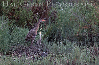 Clapper Rail Clapping Fremont, California 1307R-CR4