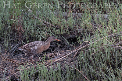 Clapper Rail Fremont, California 1307R-CR3