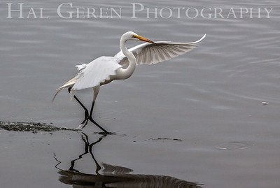Great Egret Take Off Fremont, California 1307R-GE7TO
