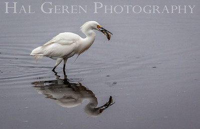 Snow Egret catches a meal Fremont, California 1307R-SE6
