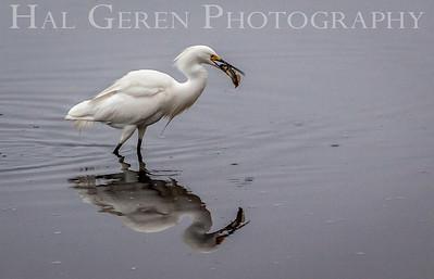 Snow Egret catches a meal Fremont, California 1307R-SE6