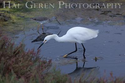 Snowy Egret Fremont, California 1309R-SE3