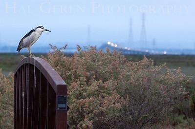 Black Crowned Night Heron Fremont, California 1308R-BSNHOB1