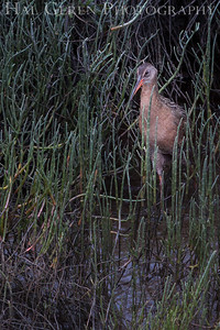 Clapper Rail Fremont, California 1307R-CR5