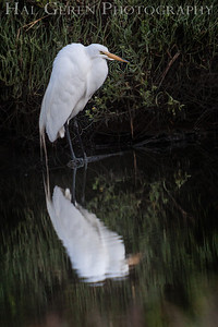 Great Egret Fremont, California 1307R-GE24