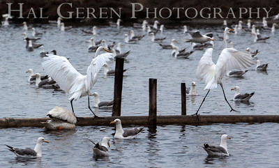 Great Egrets Fremont, California 1307R-GE23D