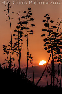 Sunrise through the Agave Fremont, California 1307R-AS1A