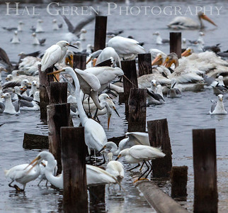 Feeding Frenzy in a Salt Pond Fremont, California 1307R-F1