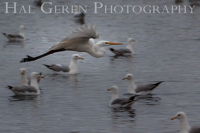 Great Egret Fremont, California 1307R-GE19F