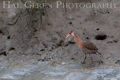 An Endangered Clapper Rail Clapping (Calling for a mate) Fremont, California 1307R-CR2