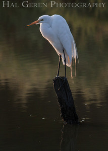 Great Egret Fremont, California 1307R-GE3