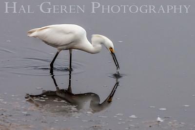 201307 Refuge - Snowy Egret 7