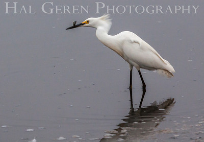 Snowy Egret Fremont, California 1307R-GE11
