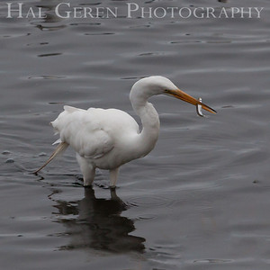 Great Egret Fremont, California 1307R-GE6