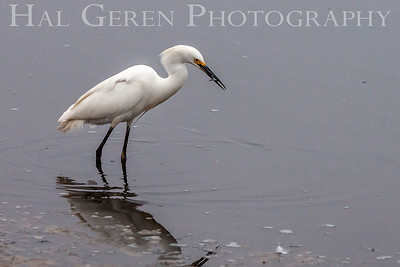 Snowy Egret Fremont, California 1307R-GE9