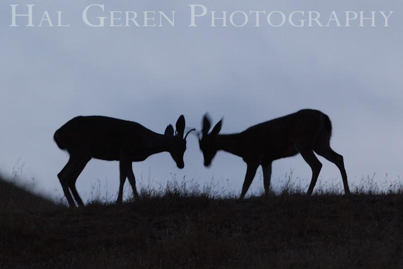 Deer testing their antlers Dry Creek Park, Fremont, California 1308DC-D4