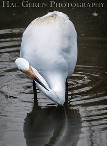 Great Egret Don Edwards National Wildlife Refuge, Fremont, California 1407R-GE1