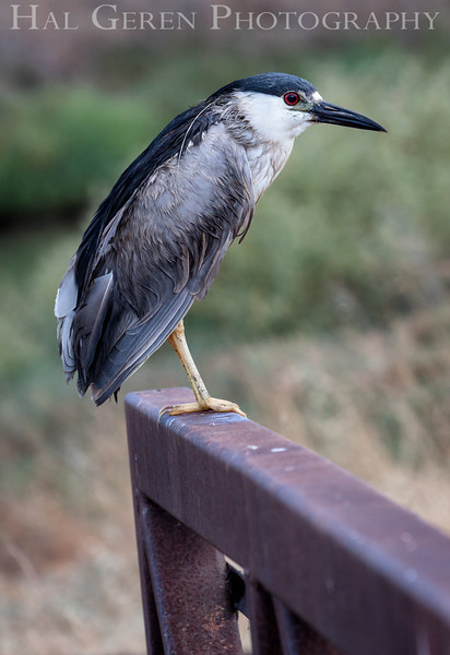 Black Crowned Night Heron Don Edwards National Wildlife Refuge, Fremont, California 1407R-BCNH1