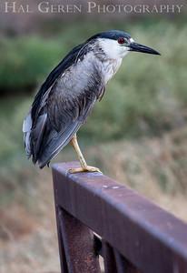 Black Crowned Night Heron Don Edwards National Wildlife Refuge, Fremont, California 1407R-BCNH1